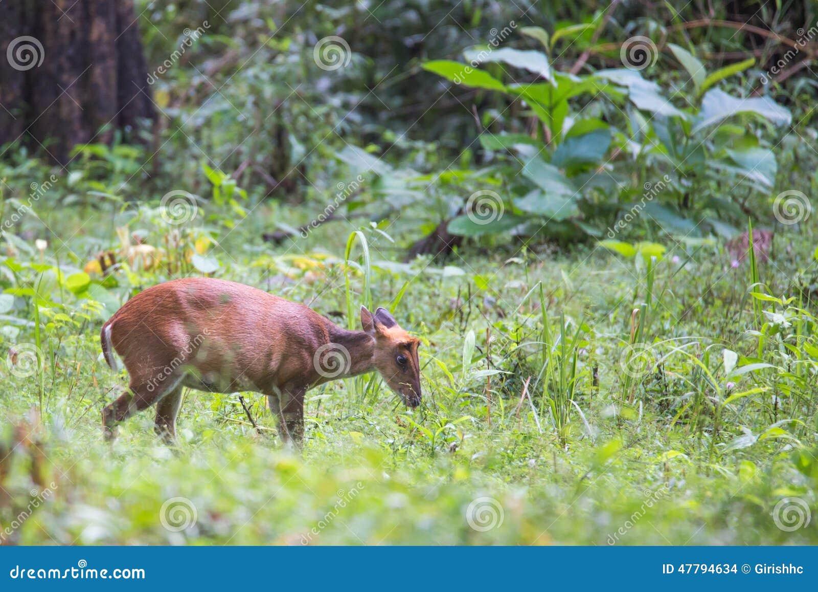 Barking Deer Closeupwith Habitat Stock Photo Image Of Enjoyment