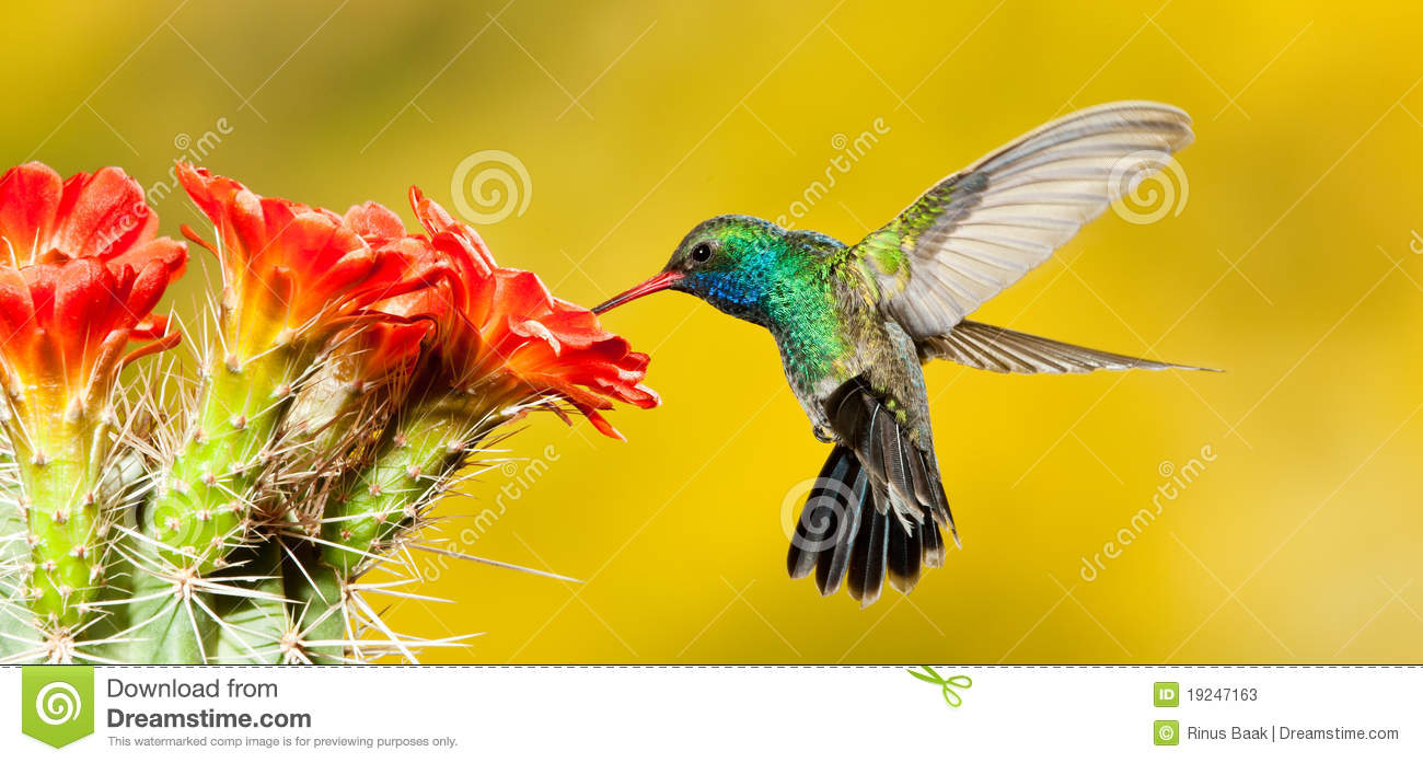Broad Billed Hummingbird Stock Image Image Of Tail Male