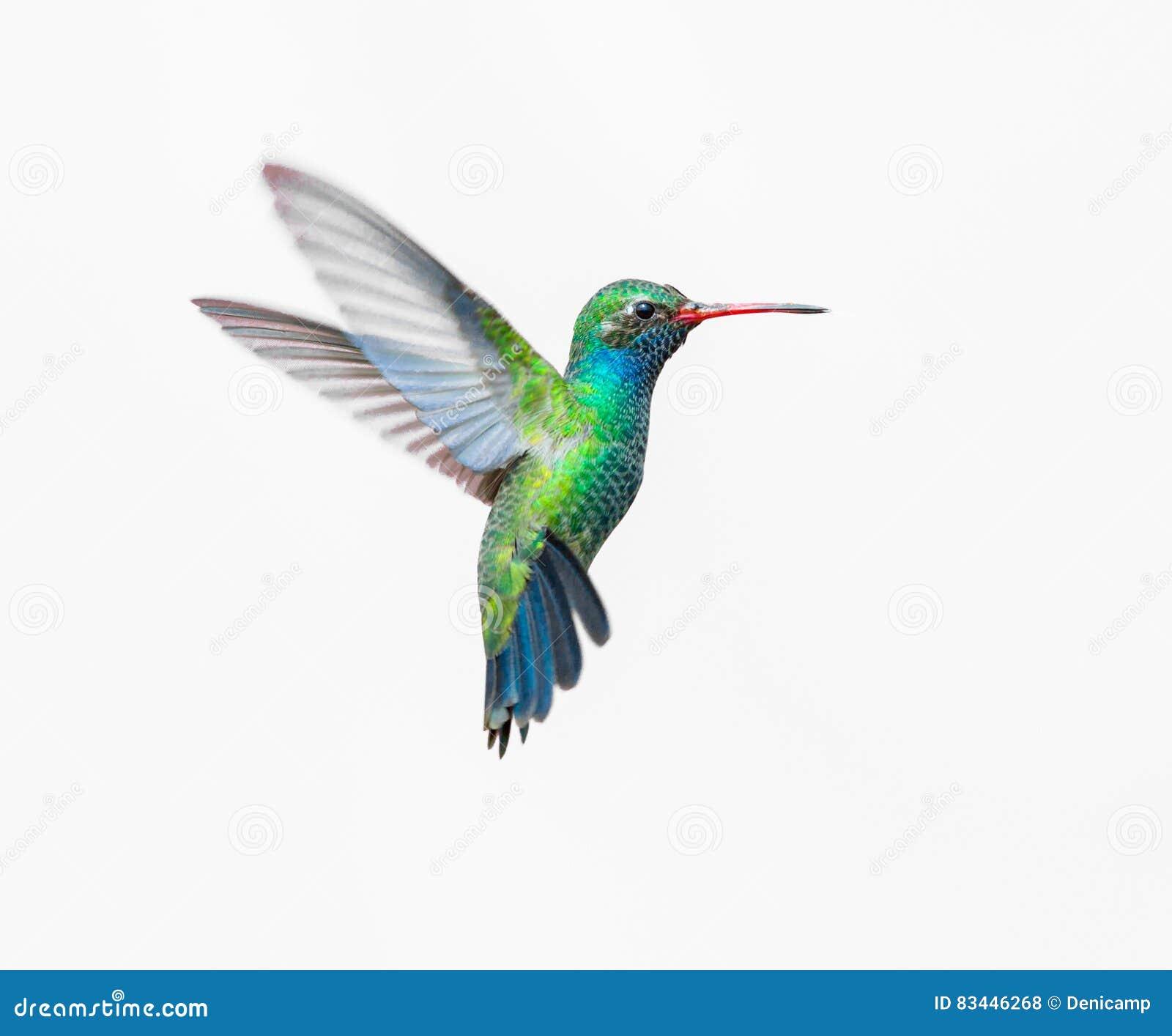 Hummingbird Colors Male Female