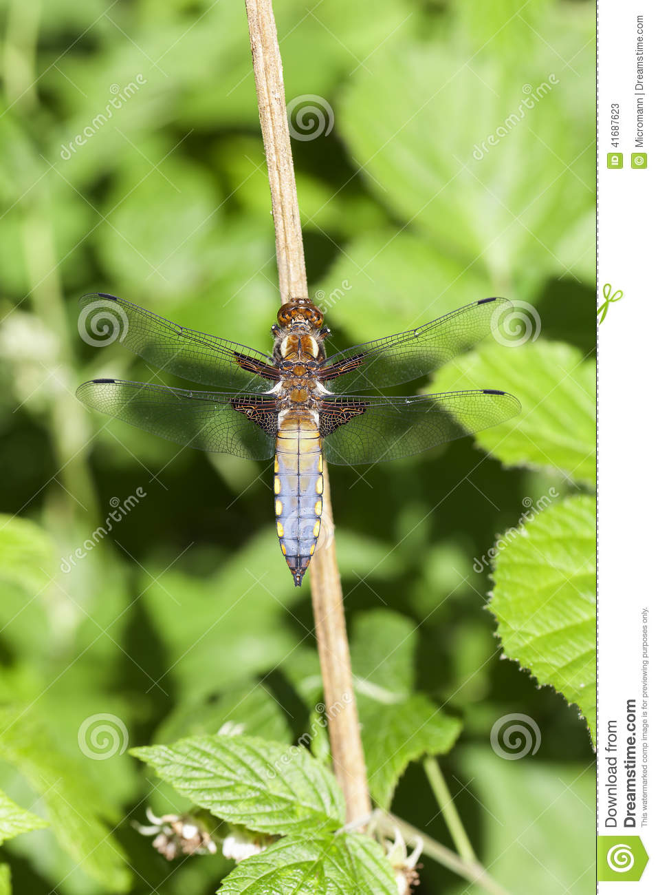 Download Broad-bodied chaser stock image. Image of nature, body - 41687623