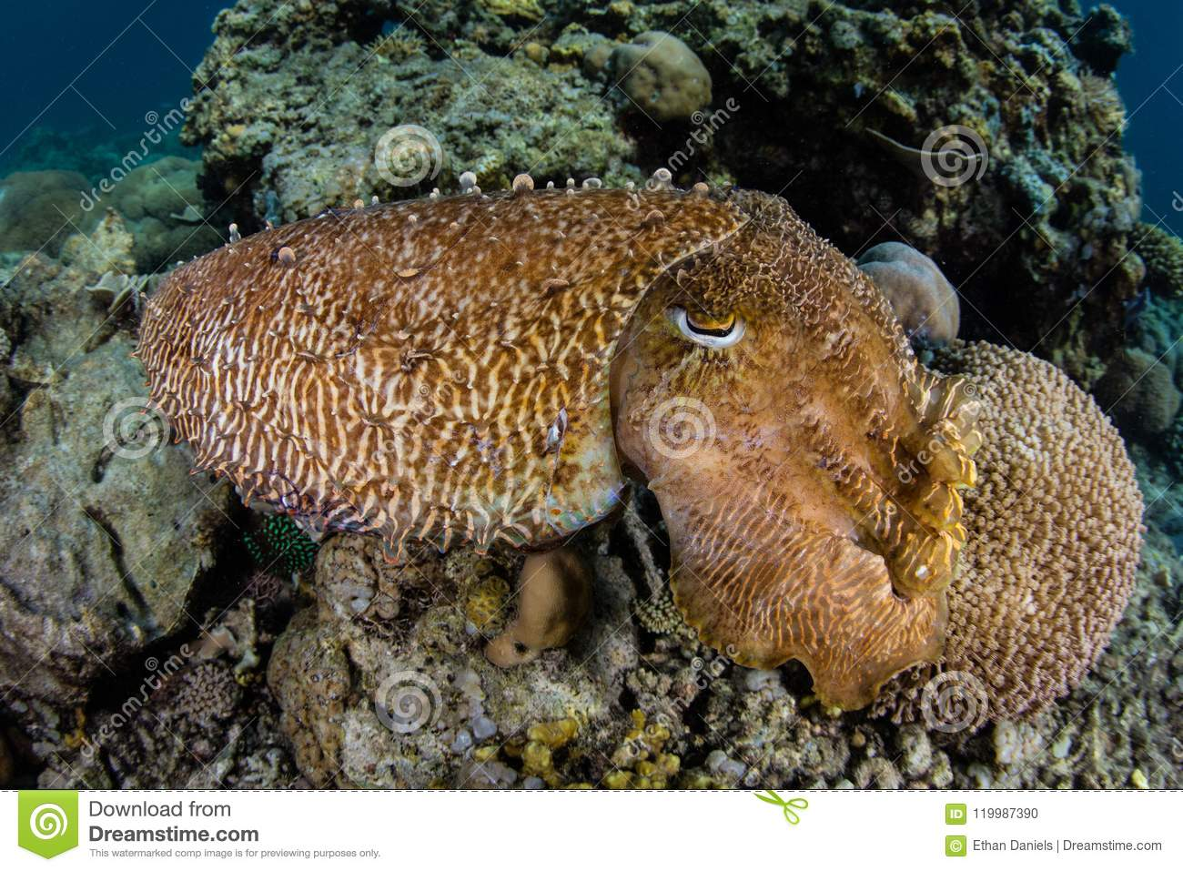 Broadclub Cuttlefish on Reef in Indonesia