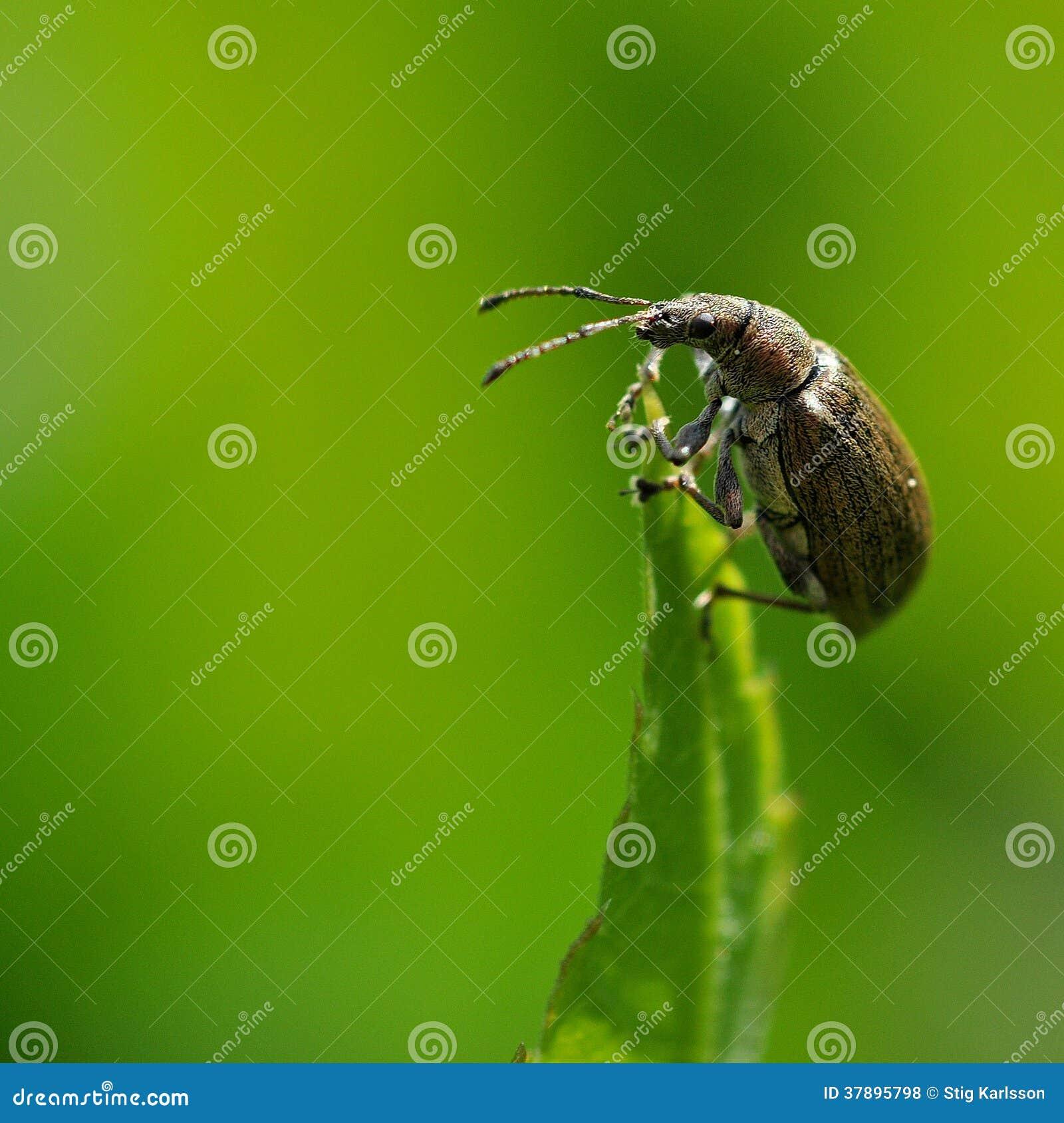 Broca do ligustici de Otiorhynchus
