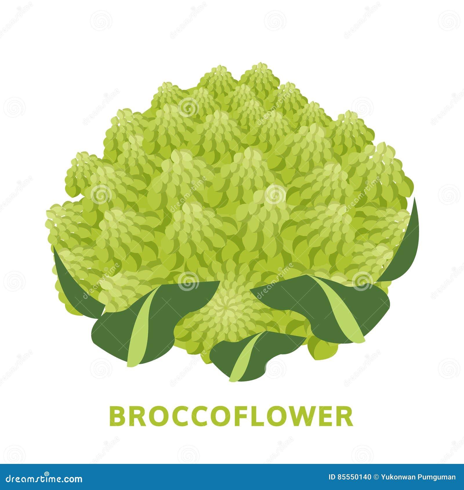 Broccoflower-Illustration, lokalisierter Gemüsevektor