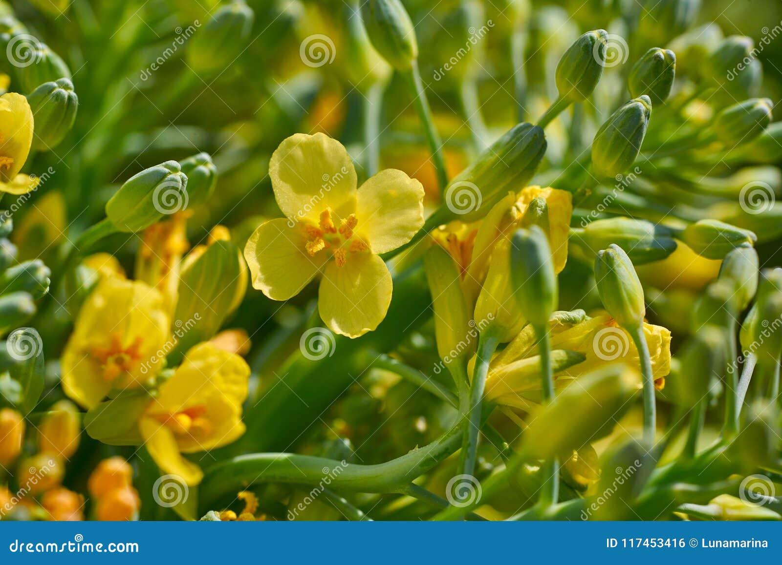 Broccoli yellow flowers macro detail stock photo image of broccoli yellow flowers macro detail mightylinksfo
