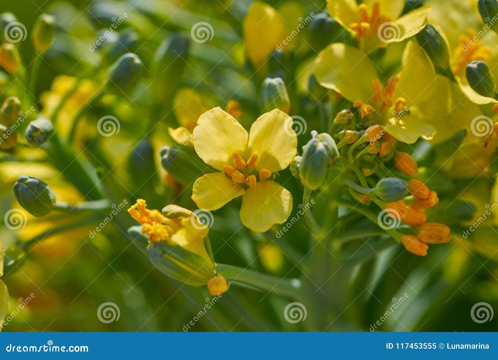 Broccoli yellow flowers macro detail stock image image of fresh broccoli yellow flowers macro detail mightylinksfo