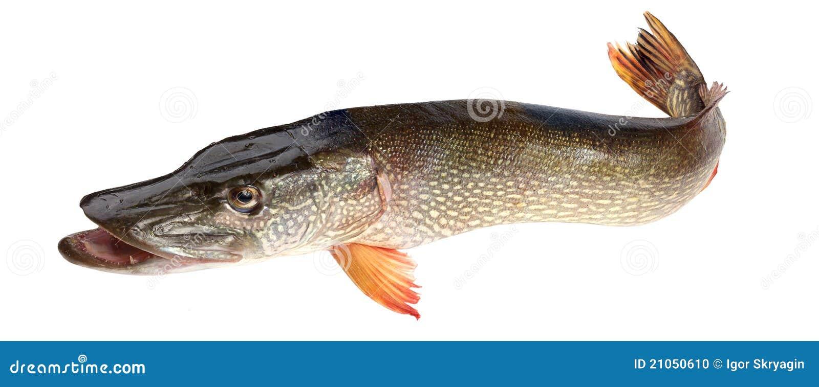Brochet de poissons