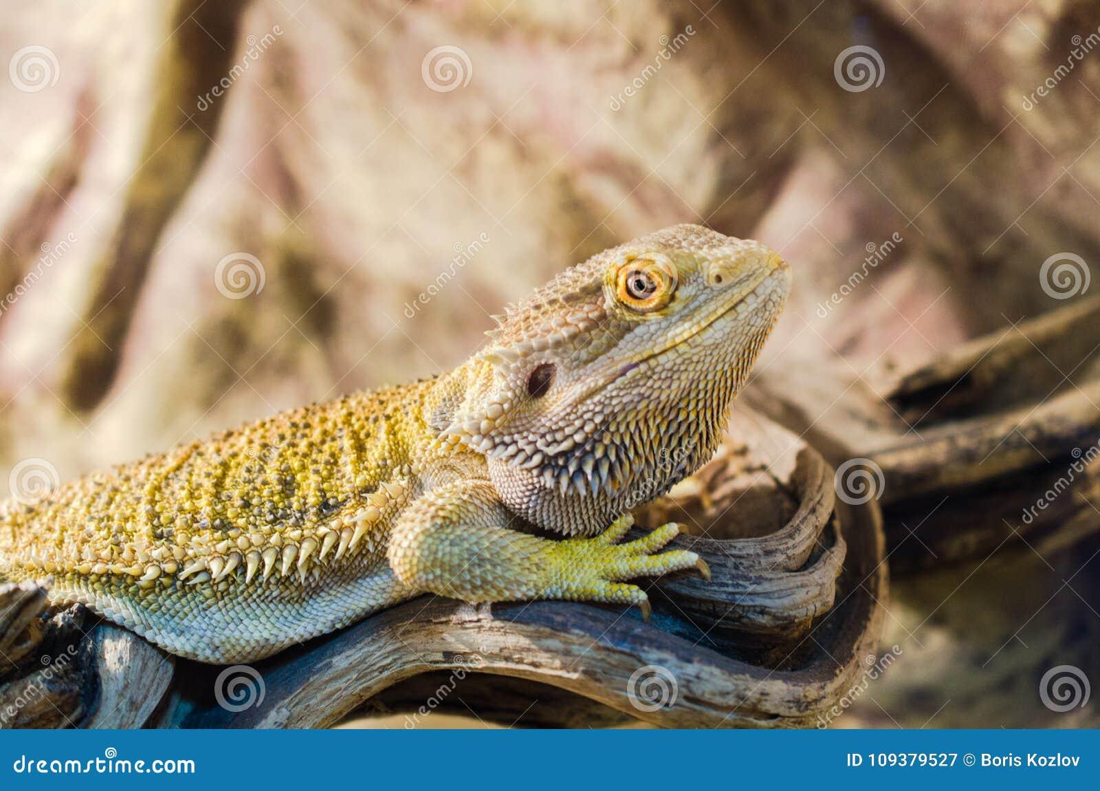 Brodaty Agama siedzi na drzewie w zwierzę domowe sklepie Brodaty Agama si