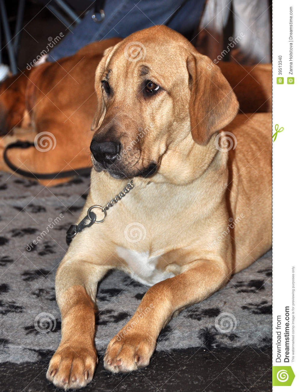 Broholmer, Danish Mastiff Dog Stock Photo - Image: 39513340