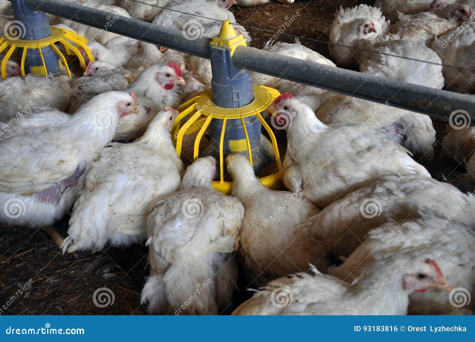Broiler chickens near feeders_9