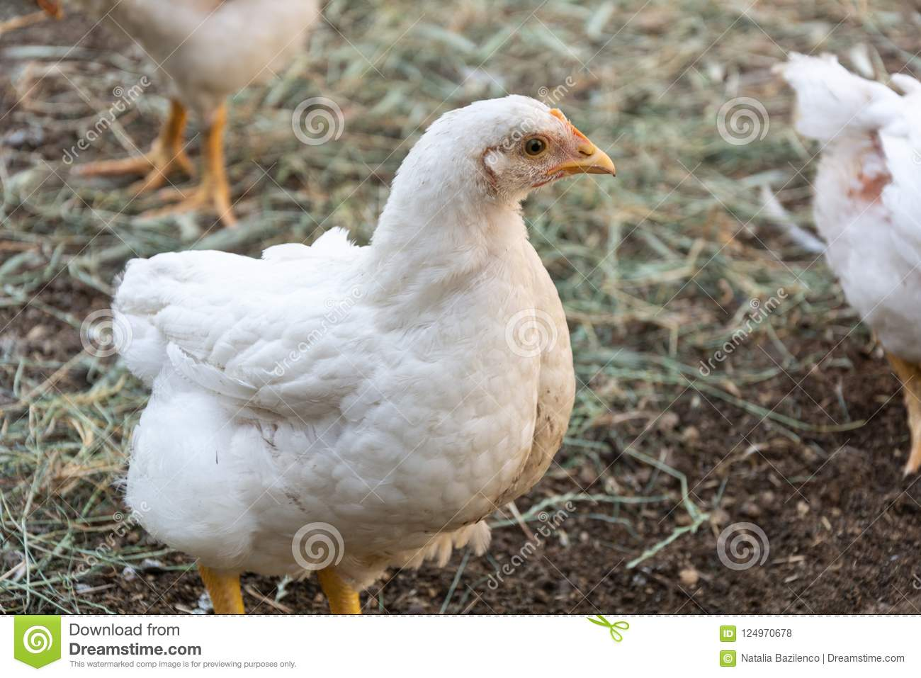 Broiler Chickens On A Rural Poultry Farm Stock Photo - Image of