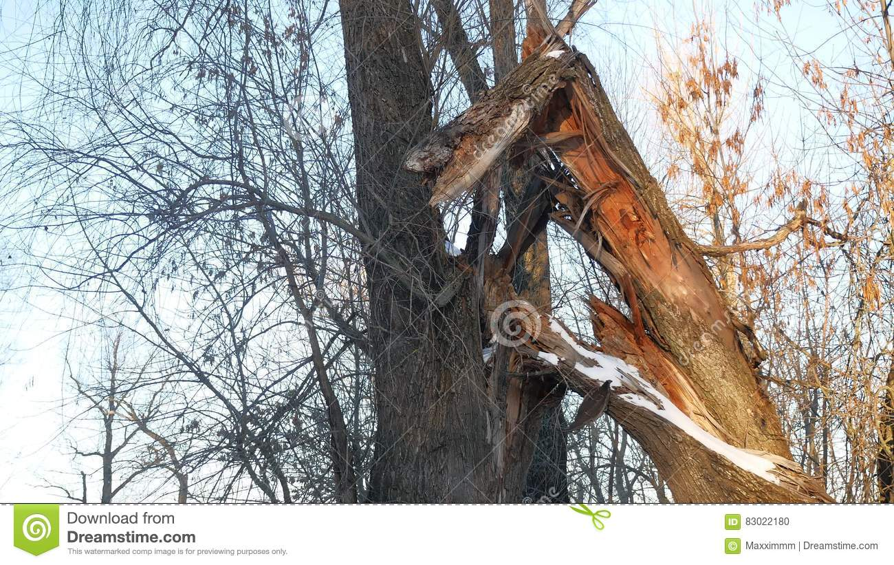 Download Broken Tree In The Forest Tree Trunk Forest Winter Landscape Dry Branches Stock Photo - Image of broken, trunk: 83022180