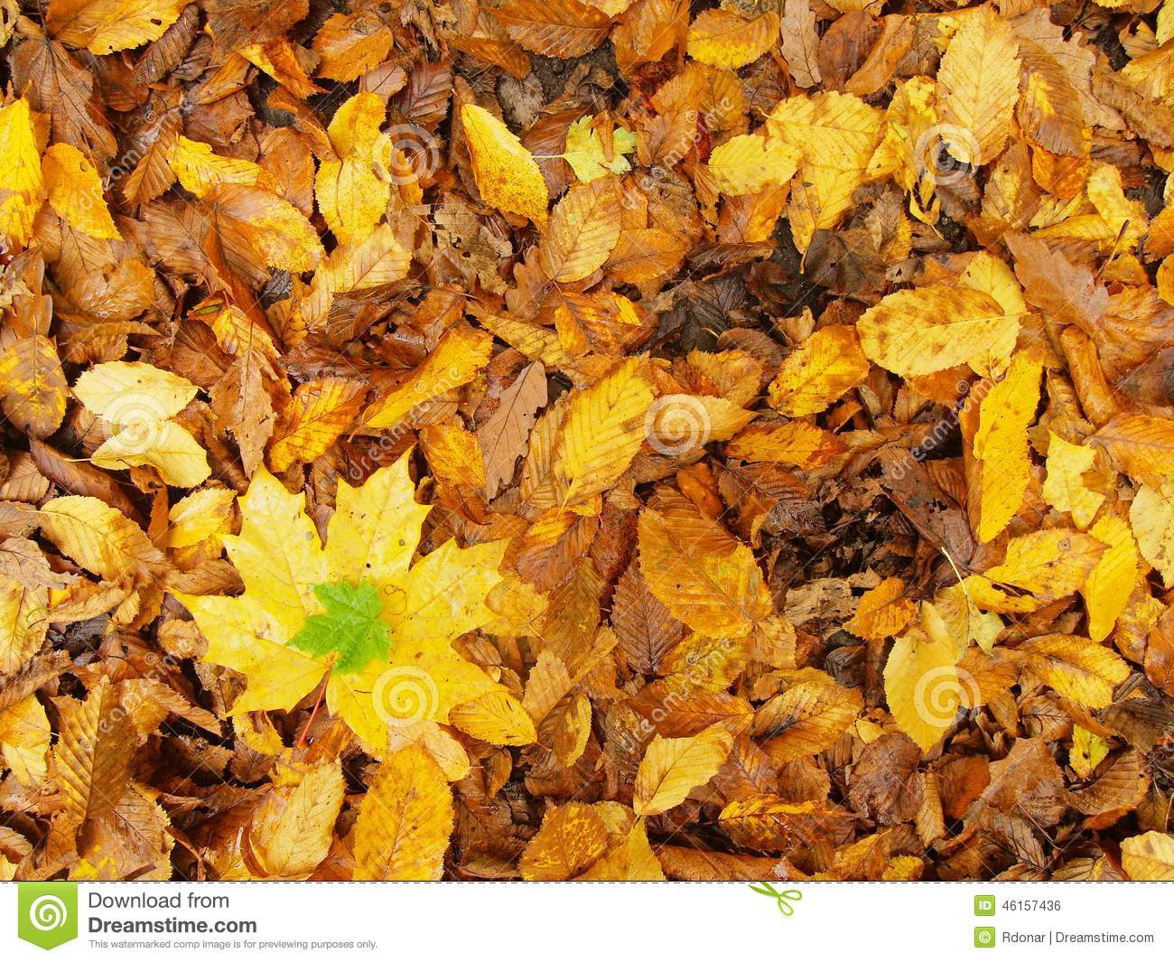 Broken Yellow Maple Leaf On Orange Beeches Leaves Ground ...