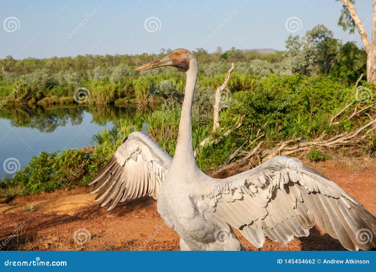 Brolga安提歌尼rubicunda,在起重机家庭舞蹈的一只鸟在澳大利亚的顶端的照相机的