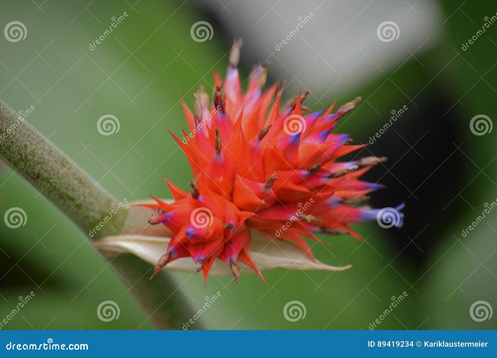Bromeliácea