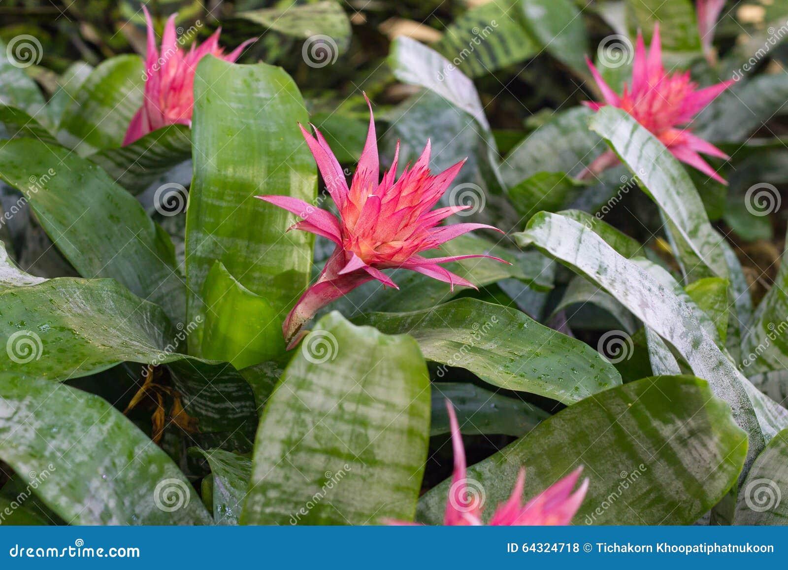 Bromeliad Flower In Bloom In Springtime Stock Photo Image Of Green