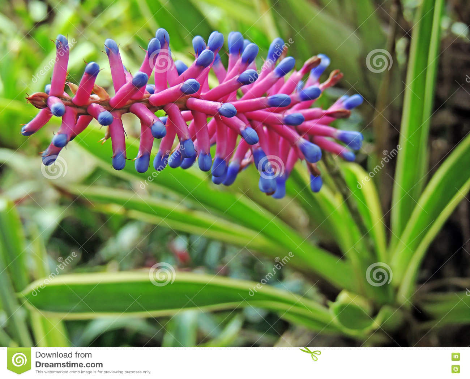 Bromeliad Flower Pink Aechmea Apocalyptica Gamesopela Blue Stock