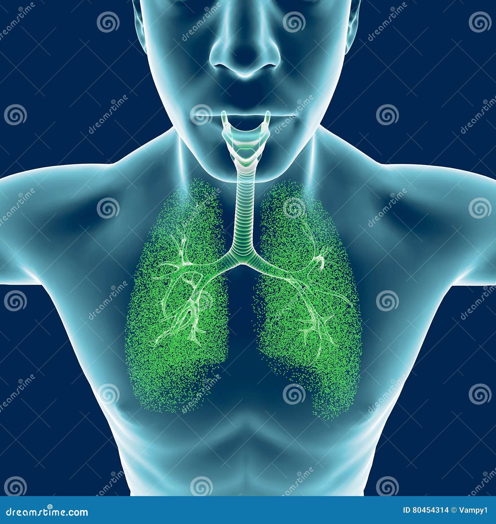 Bronchiën, het menselijke lichaam, ontsteking