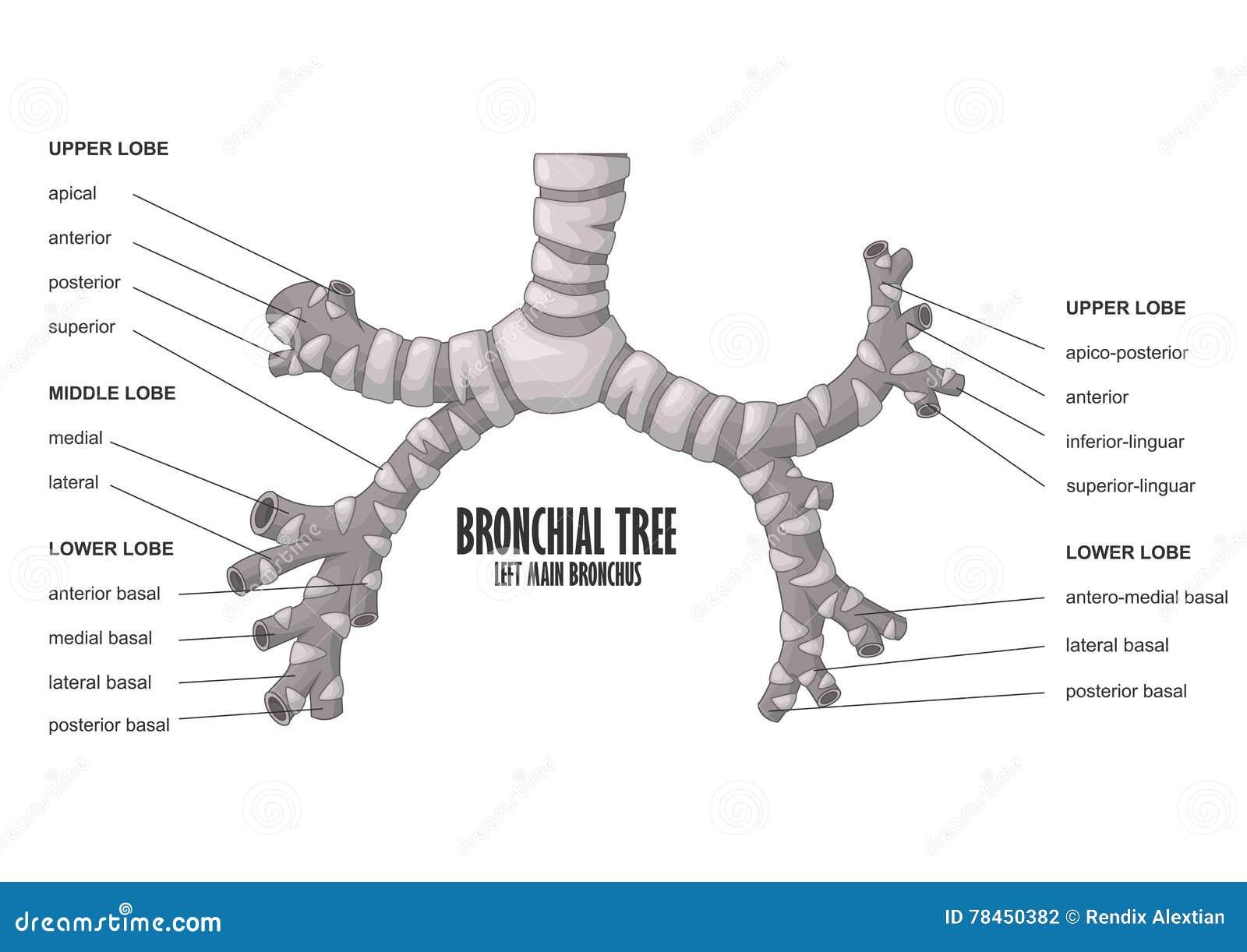 Bronchial Tree Left Main Bronchus Human Anatomy Stock Vector ...