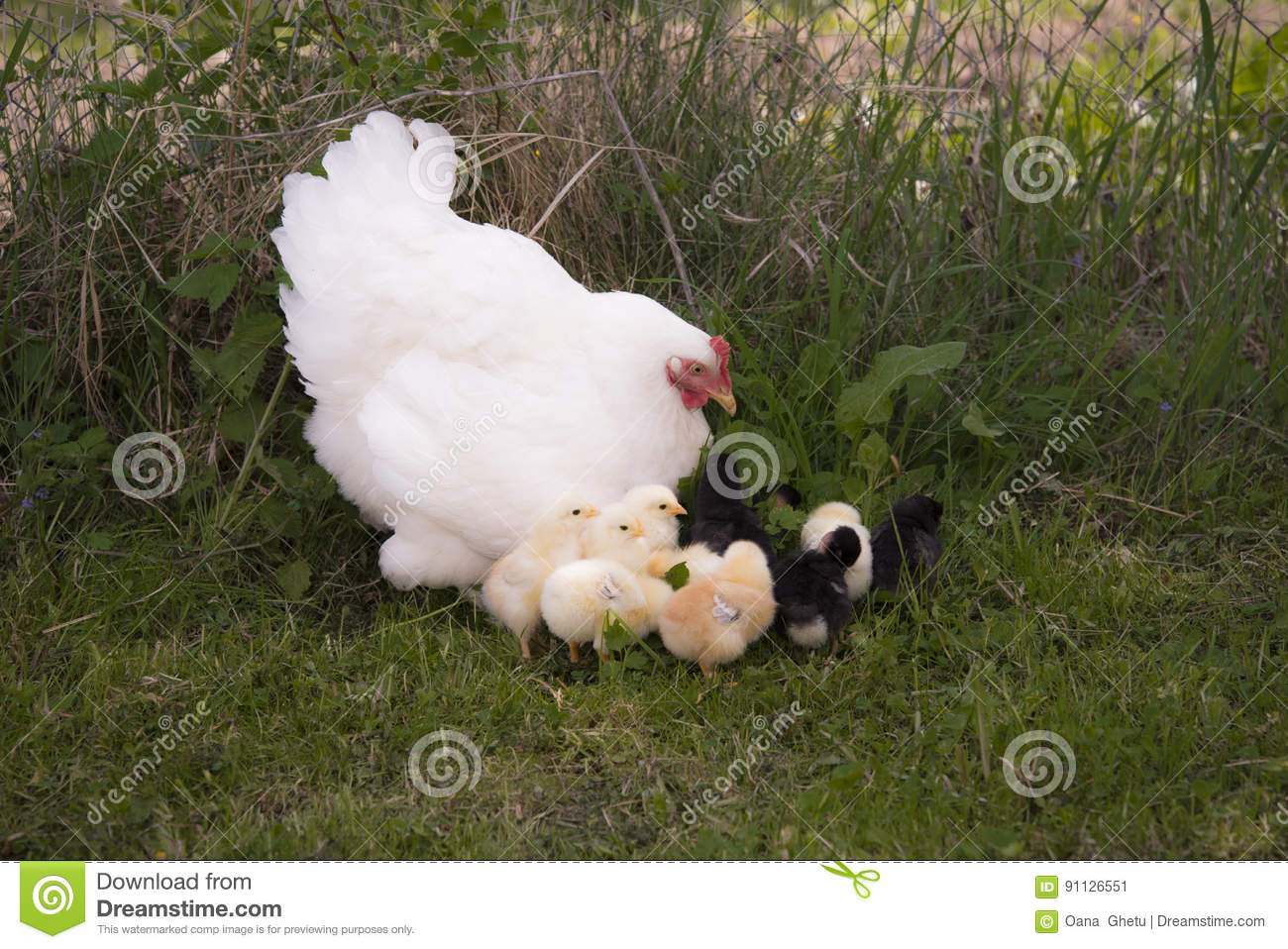 A brood hen with chickens