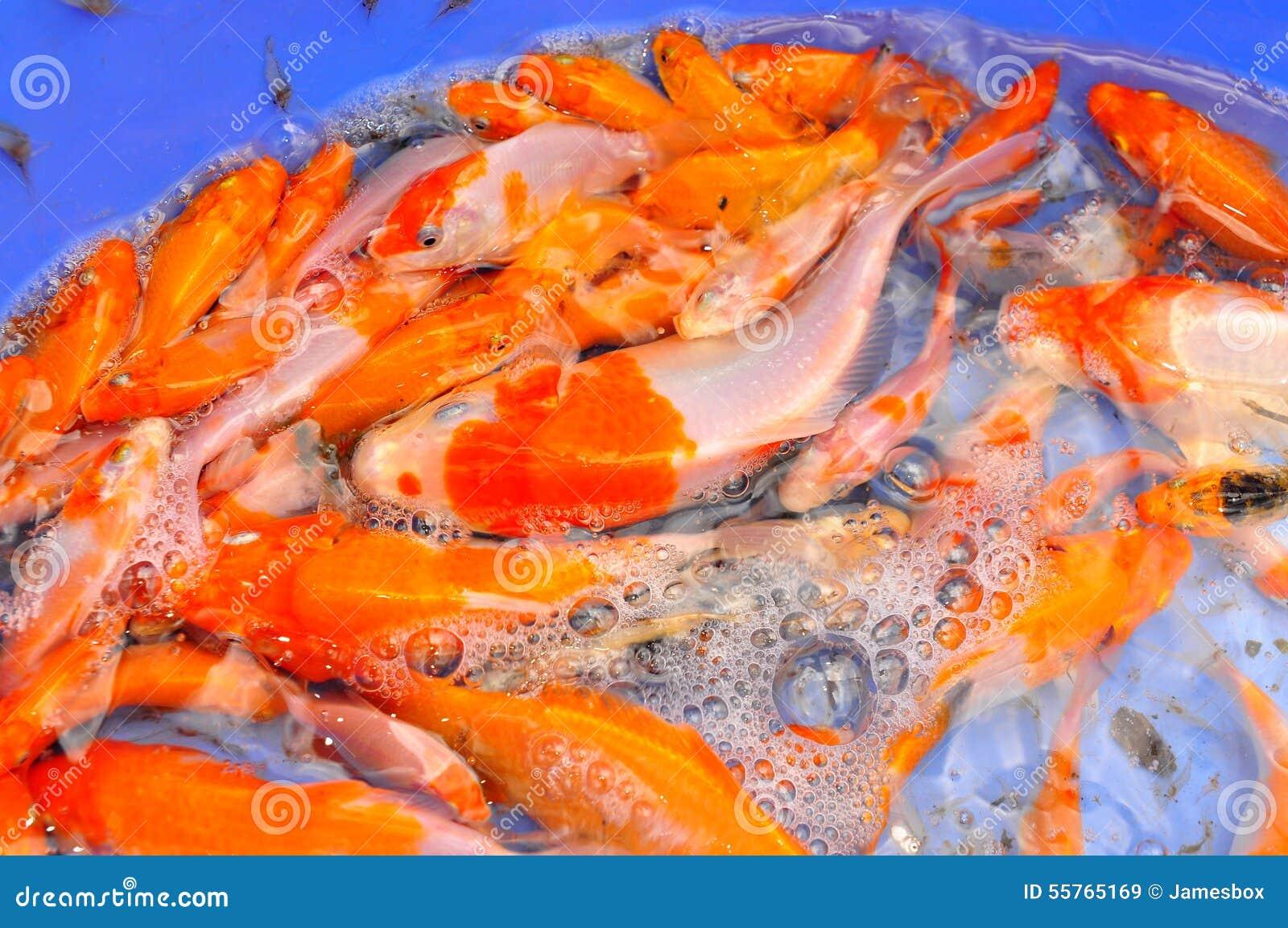 Broodstocks of koi fish in tank in a farming center in for Fish in vietnam