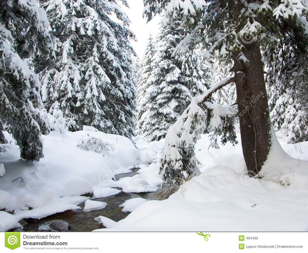 Brook and pine trees in winter