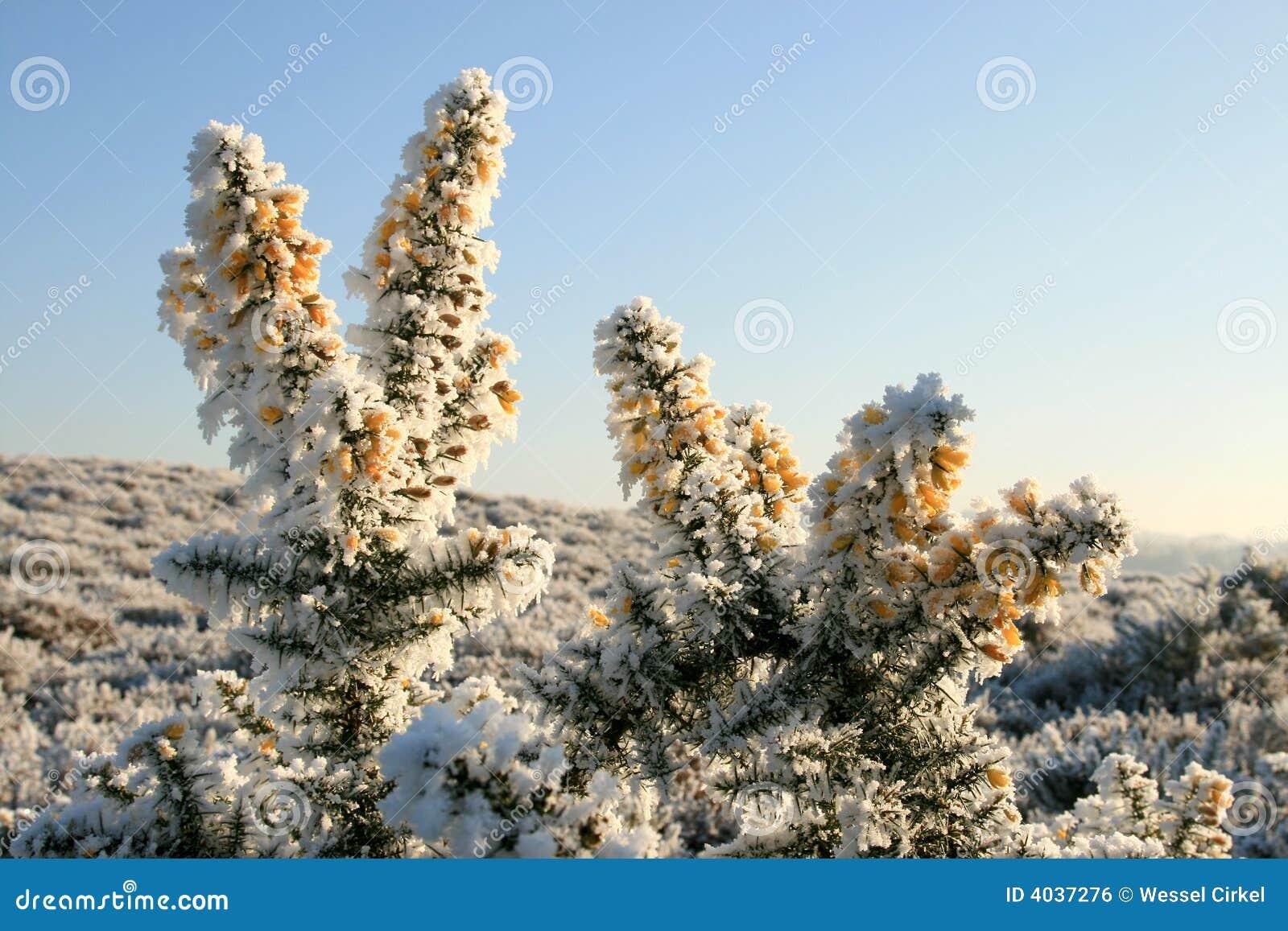 Broom желтый цвет hoarfrost цветков
