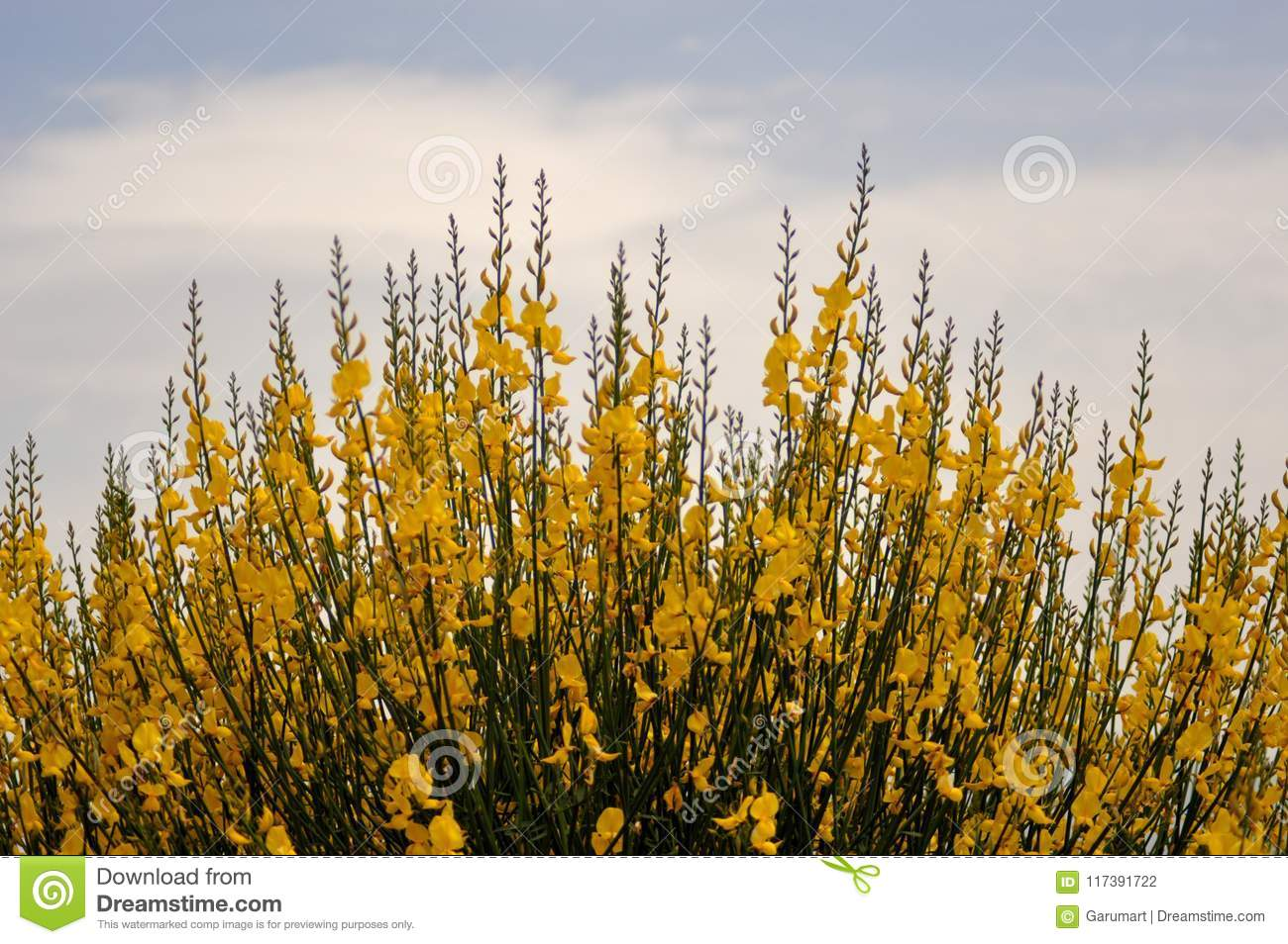 Broom bushes with yellow flowers stock photo image of white broom bushes with yellow flowers mightylinksfo