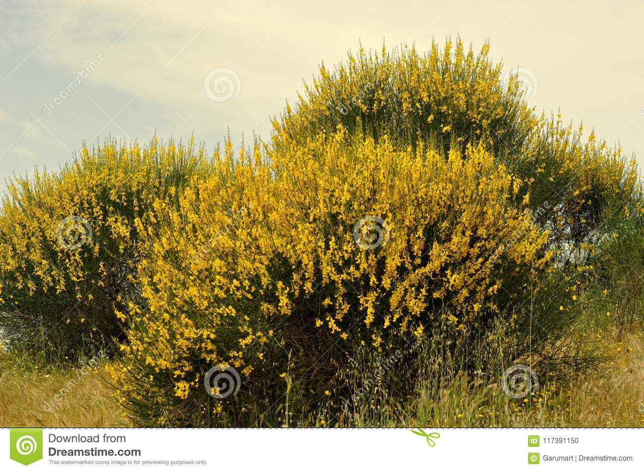 Broom Bushes With Yellow Flowers Stock Photo Image Of Yellow