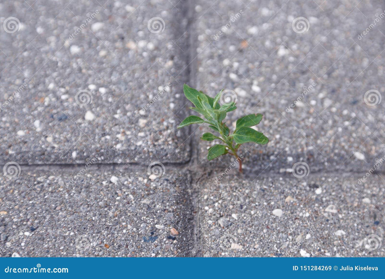 Brotado a través de una flor del bloque de cemento