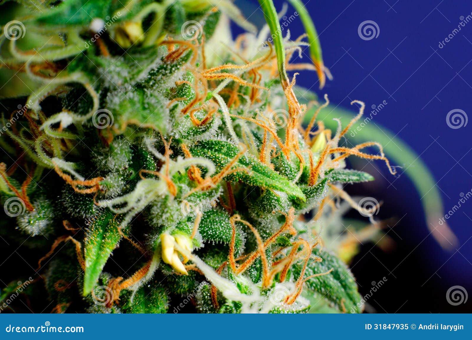 Brote de la macro de la planta de marijuana