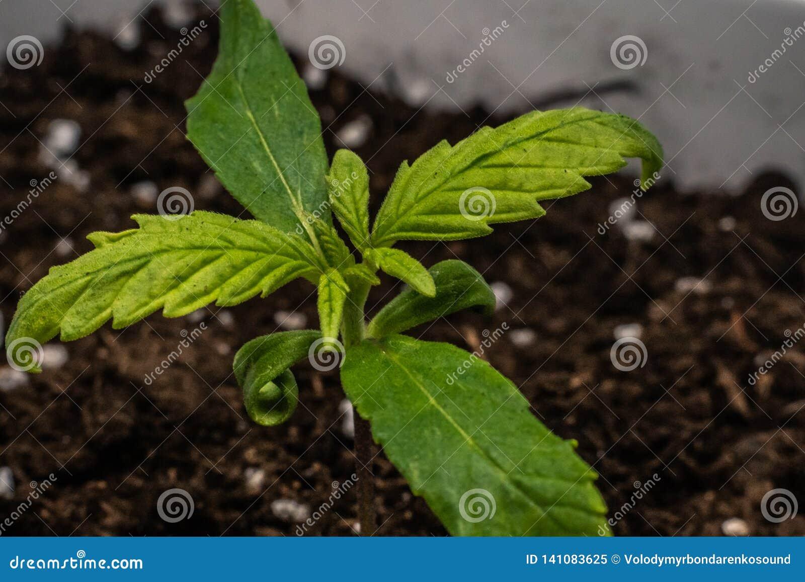 Brote de la planta de marijuana médica que crece interior Planta del cáñamo