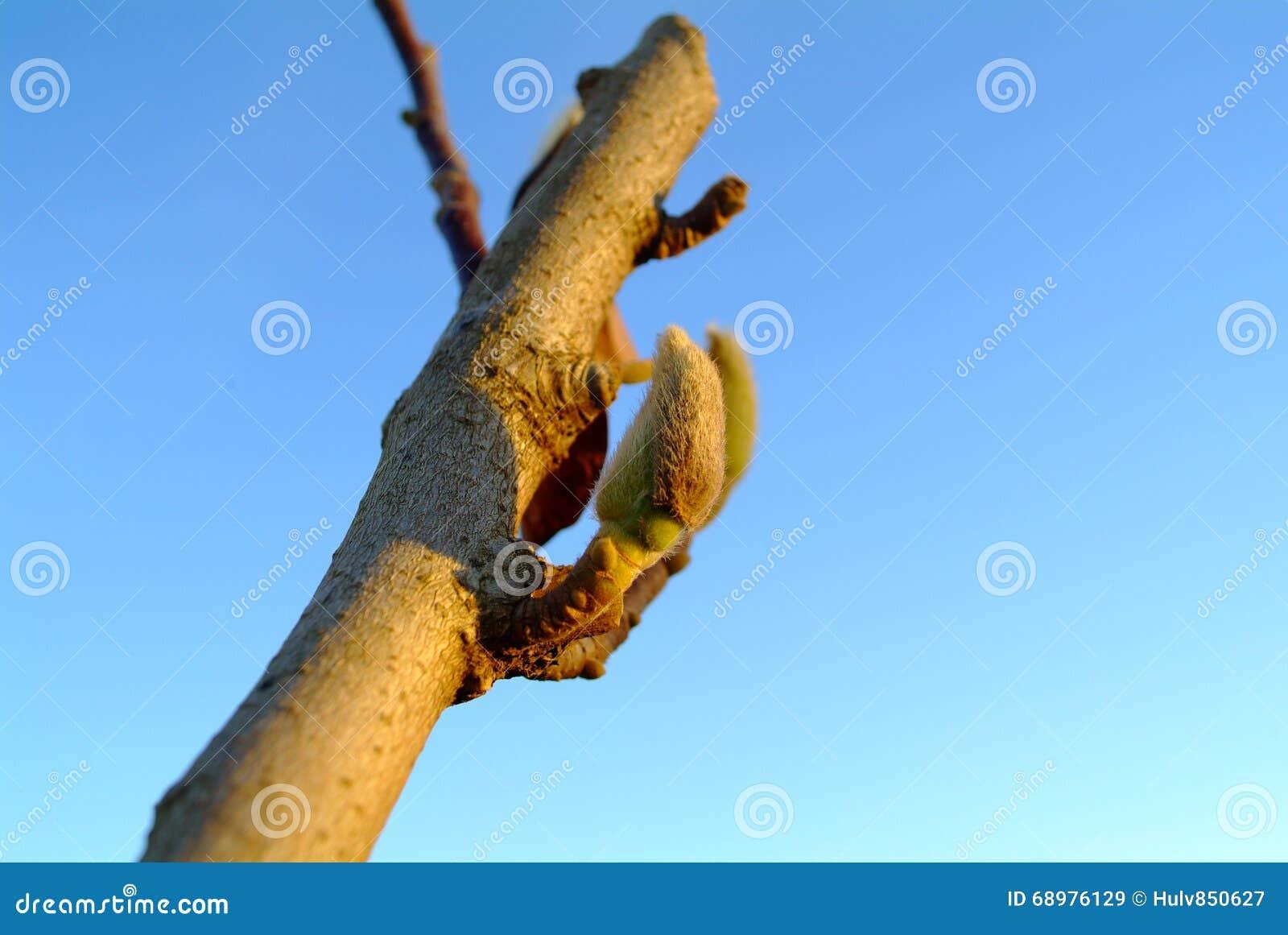 Brote grandiflora de la magnolia