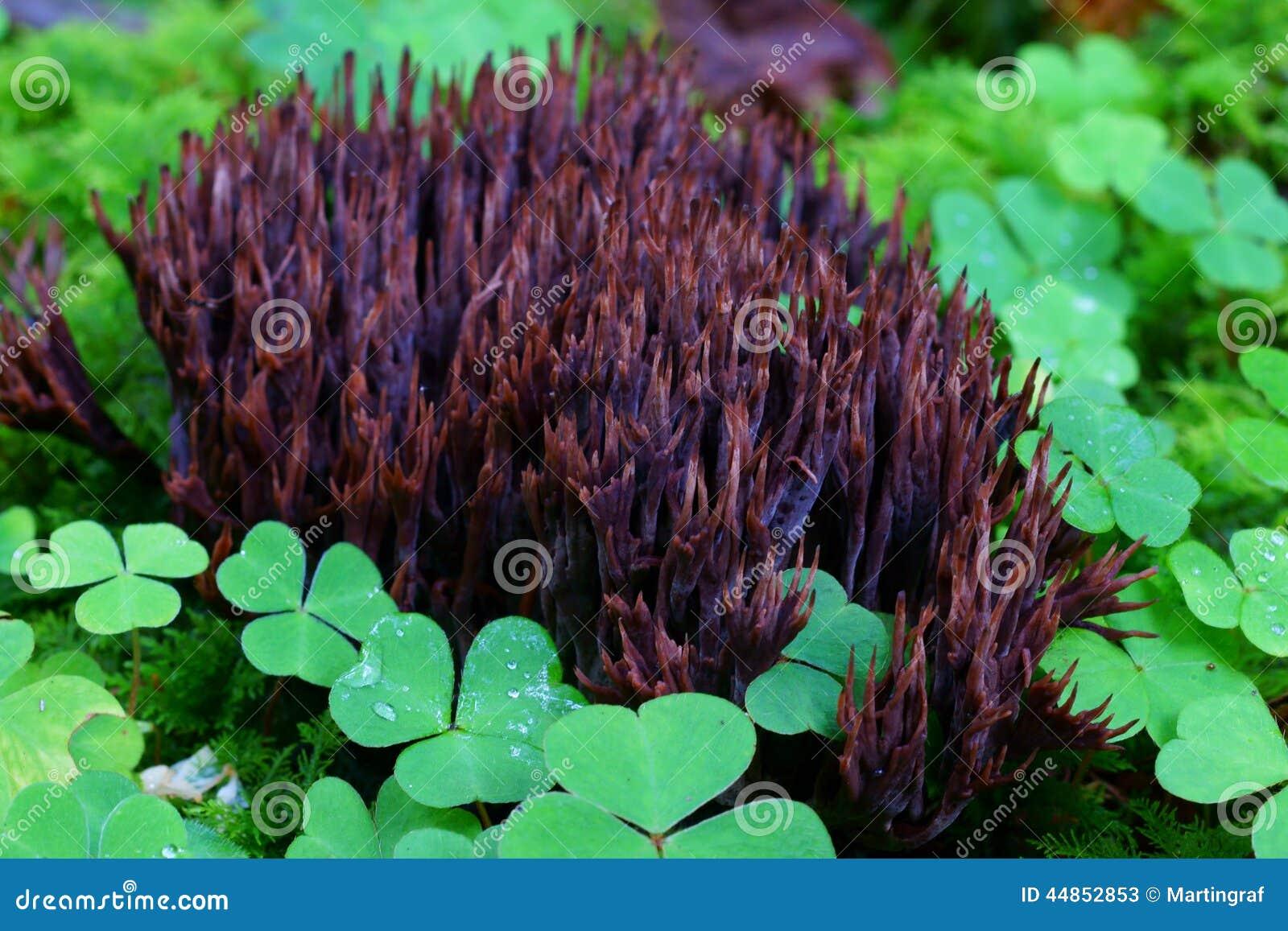 Brotes fungosos púrpuras