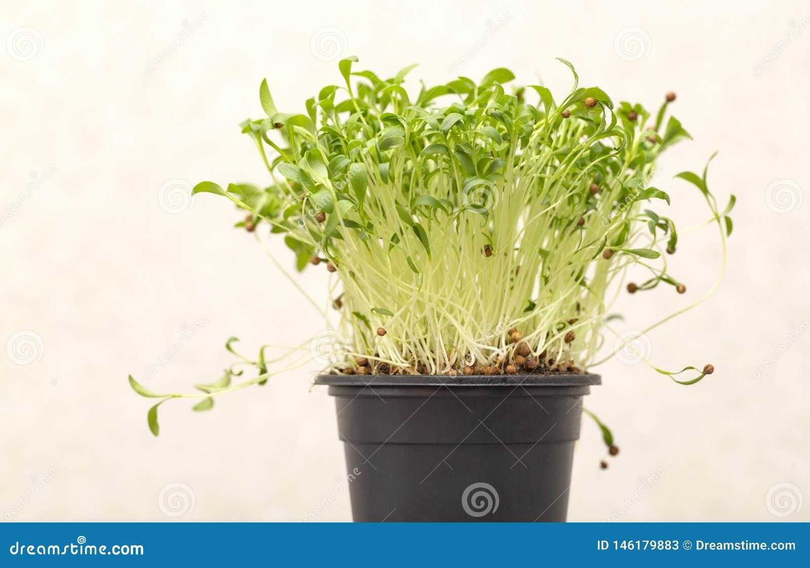 Brotes germinados verdes del cilantro con las semillas en un pote en un fondo ligero