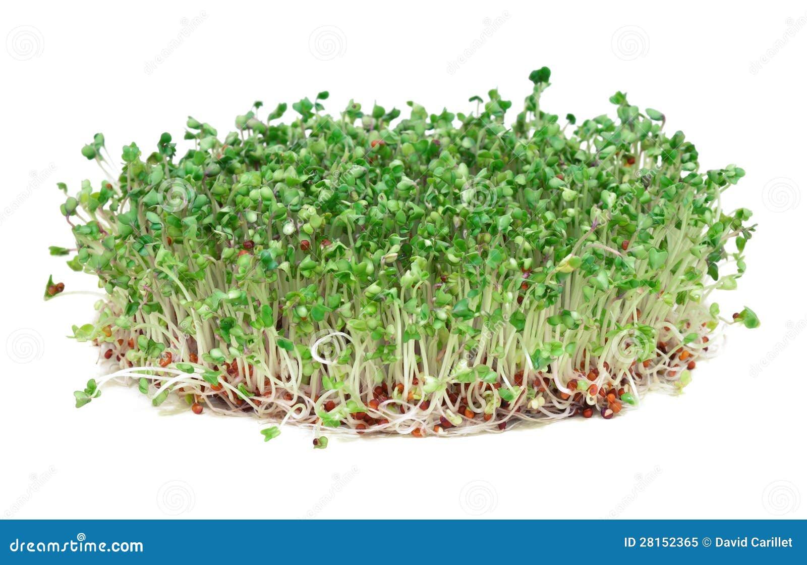 Brotes jovenes del bróculi