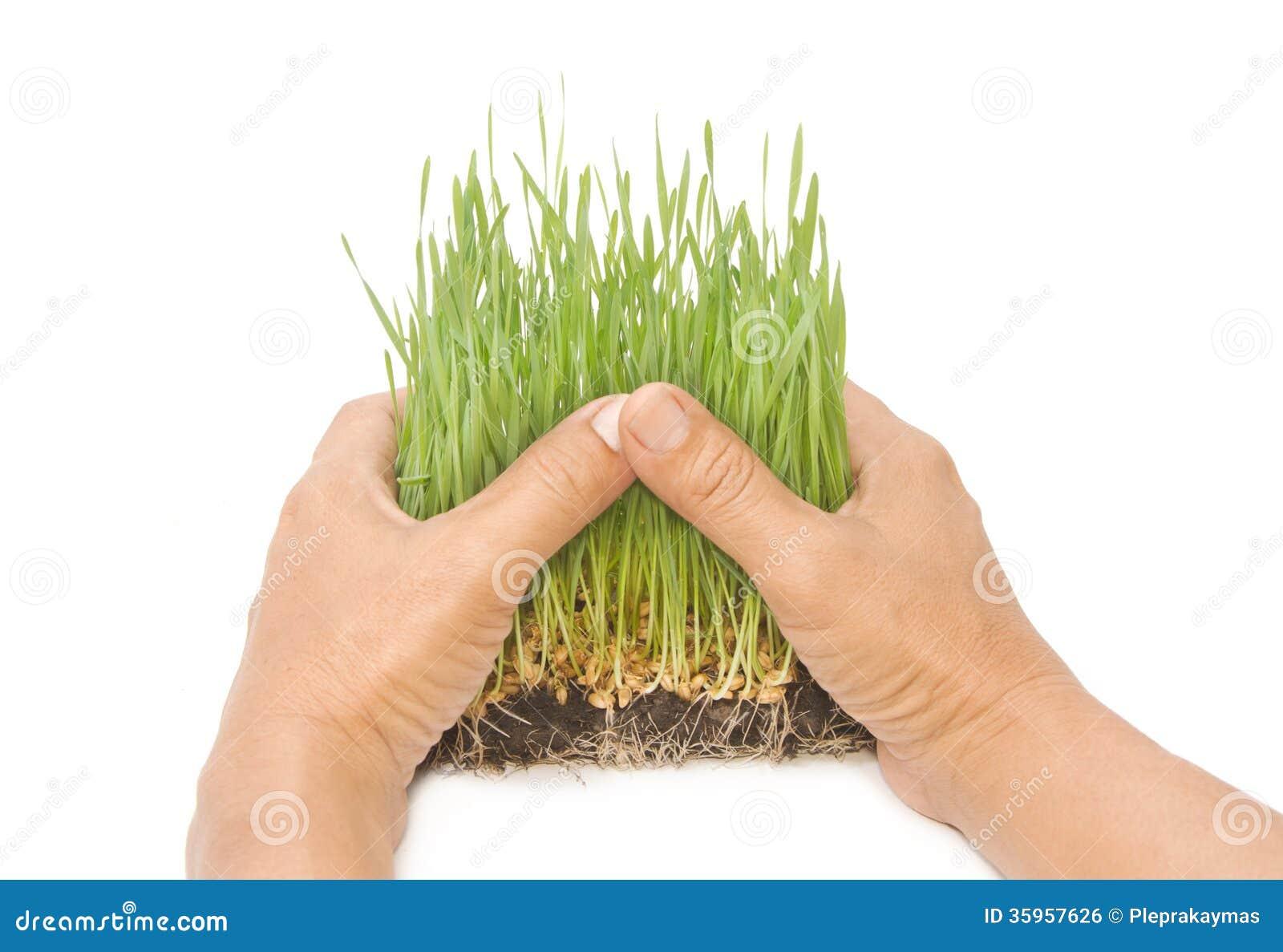 Brotes verdes del trigo en las manos del hombre