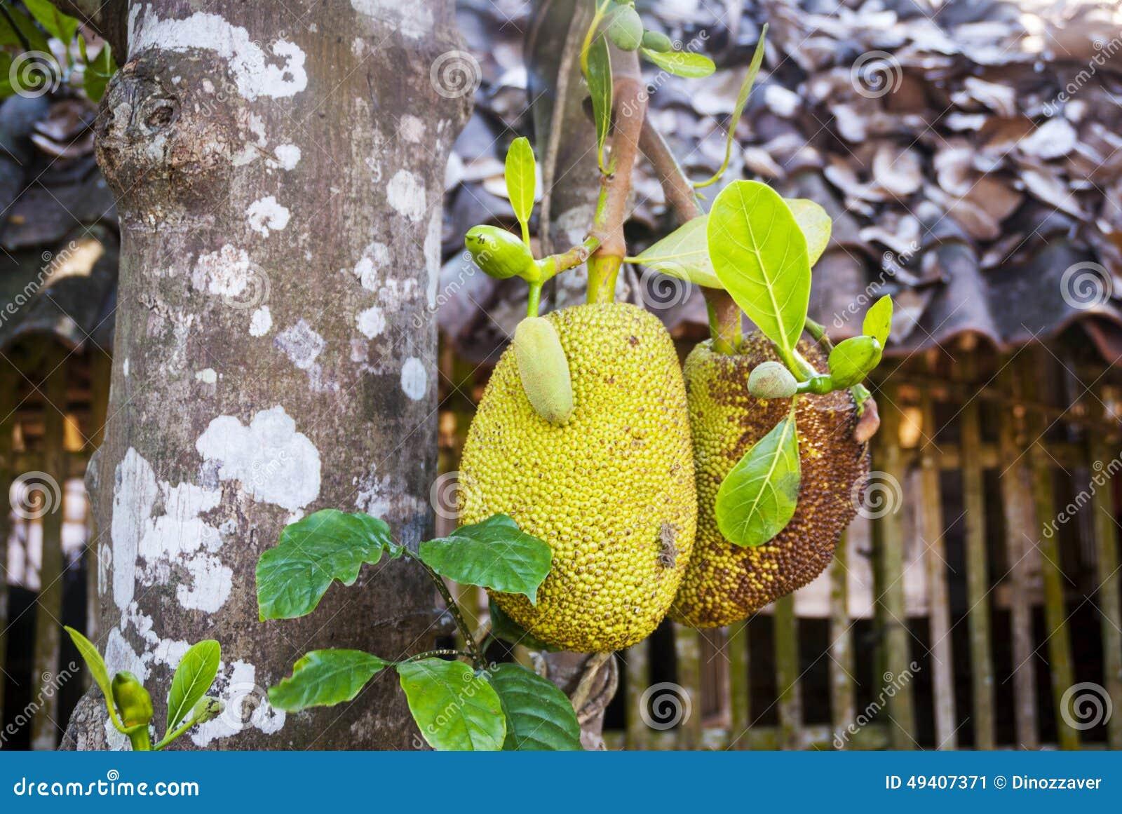 Download Brotfrüchte, Die Auf Dem Baum Wachsen Stockbild - Bild von köstlich, exotisch: 49407371