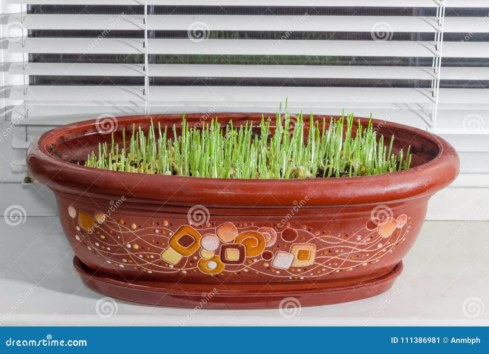 Brotos novos da cevada no potenciômetro de flor na soleira