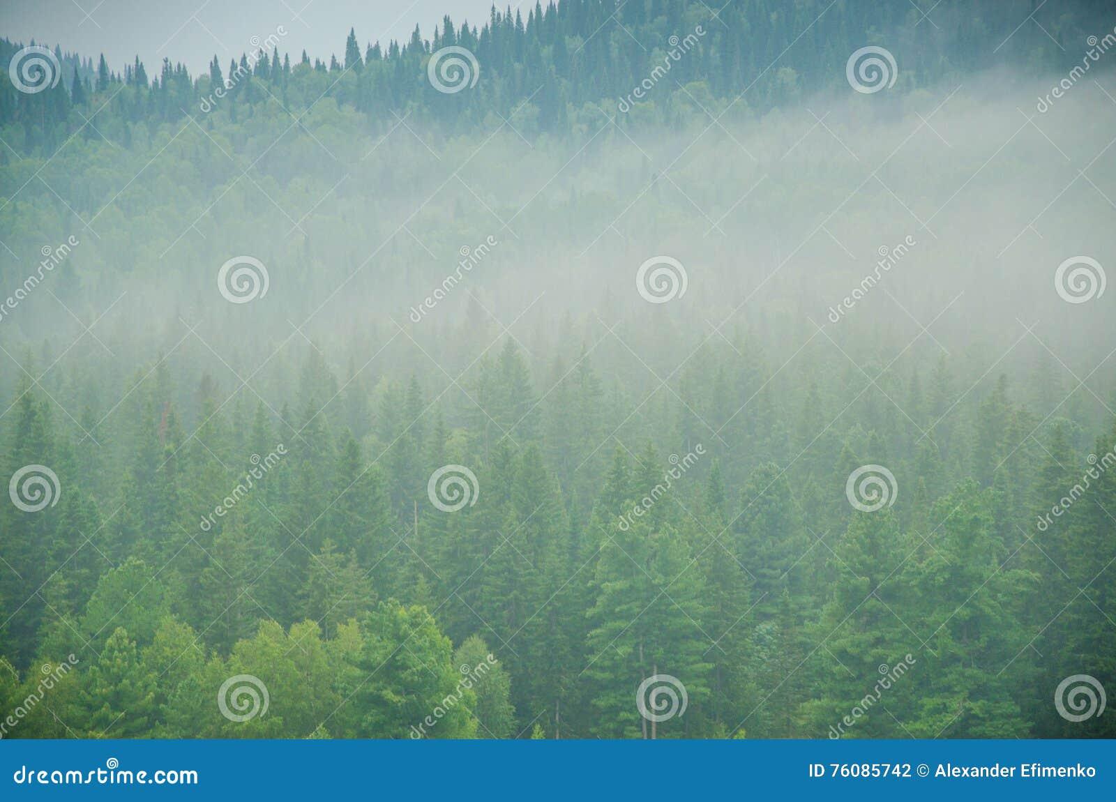 Brouillard épais de matin dans la forêt d été