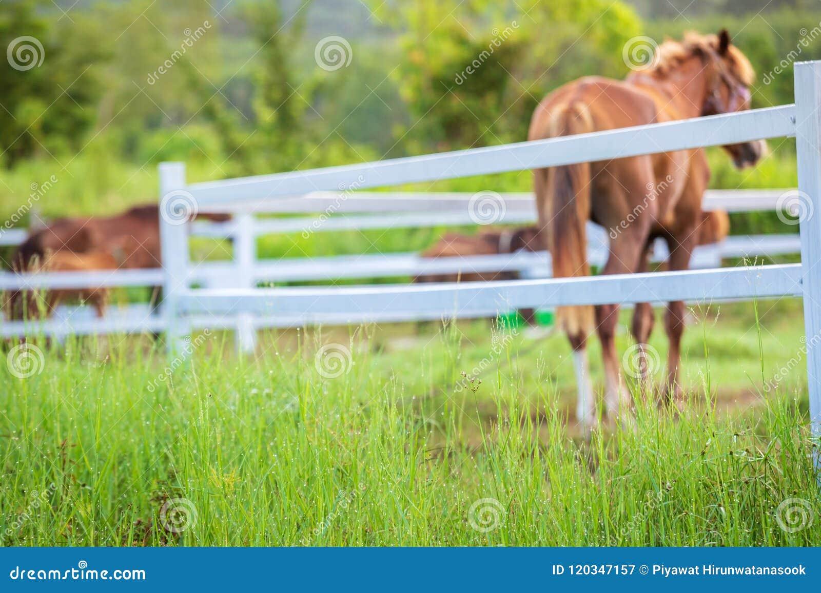 Brouillez les chevaux à l arrière-plan et les herbes avec la rosée de matin au premier plan, pré vert pour des chevaux avec une é