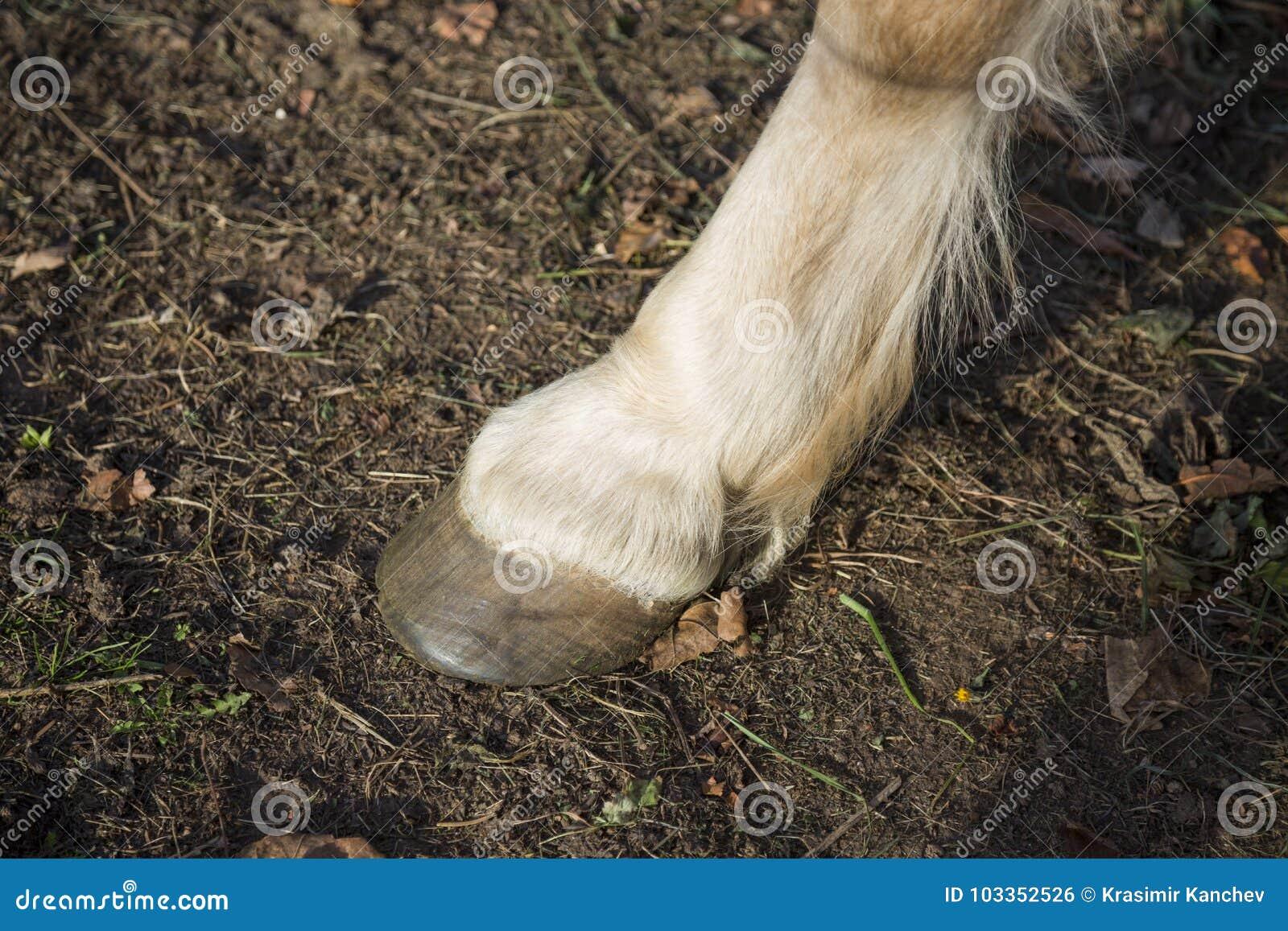 Horse hoof close up stock photo. Image of stallion, equine - 103352526