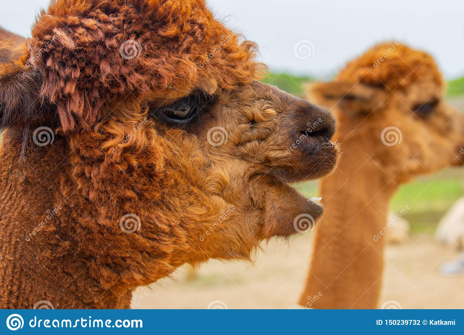 Brown alpaca head portrait with mouth open
