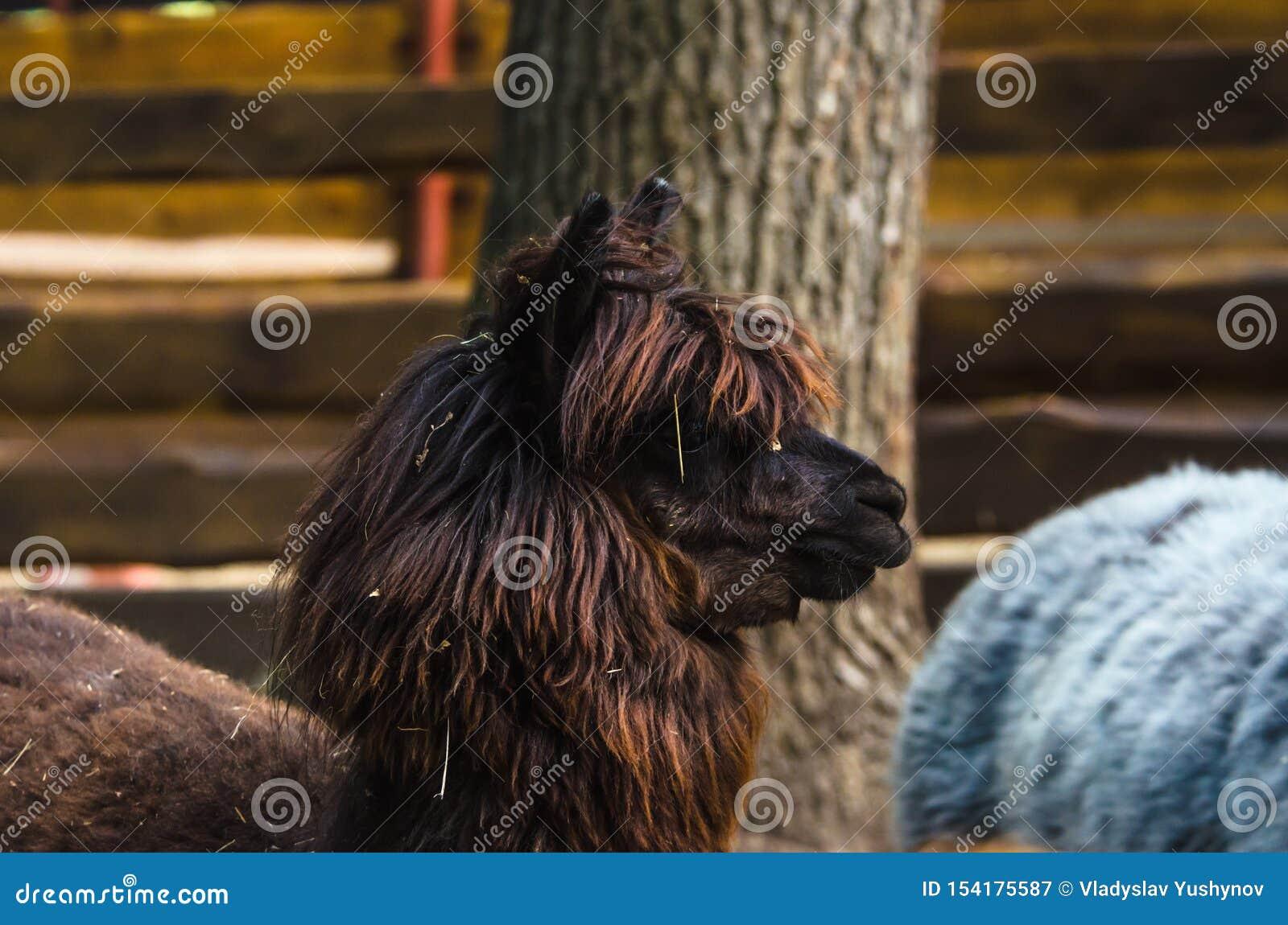 Brown alpaga w ziemia uprawna zoo