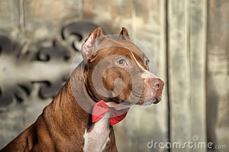 Brown American Pit Bull Terrier Stock Images - Image: 37795394