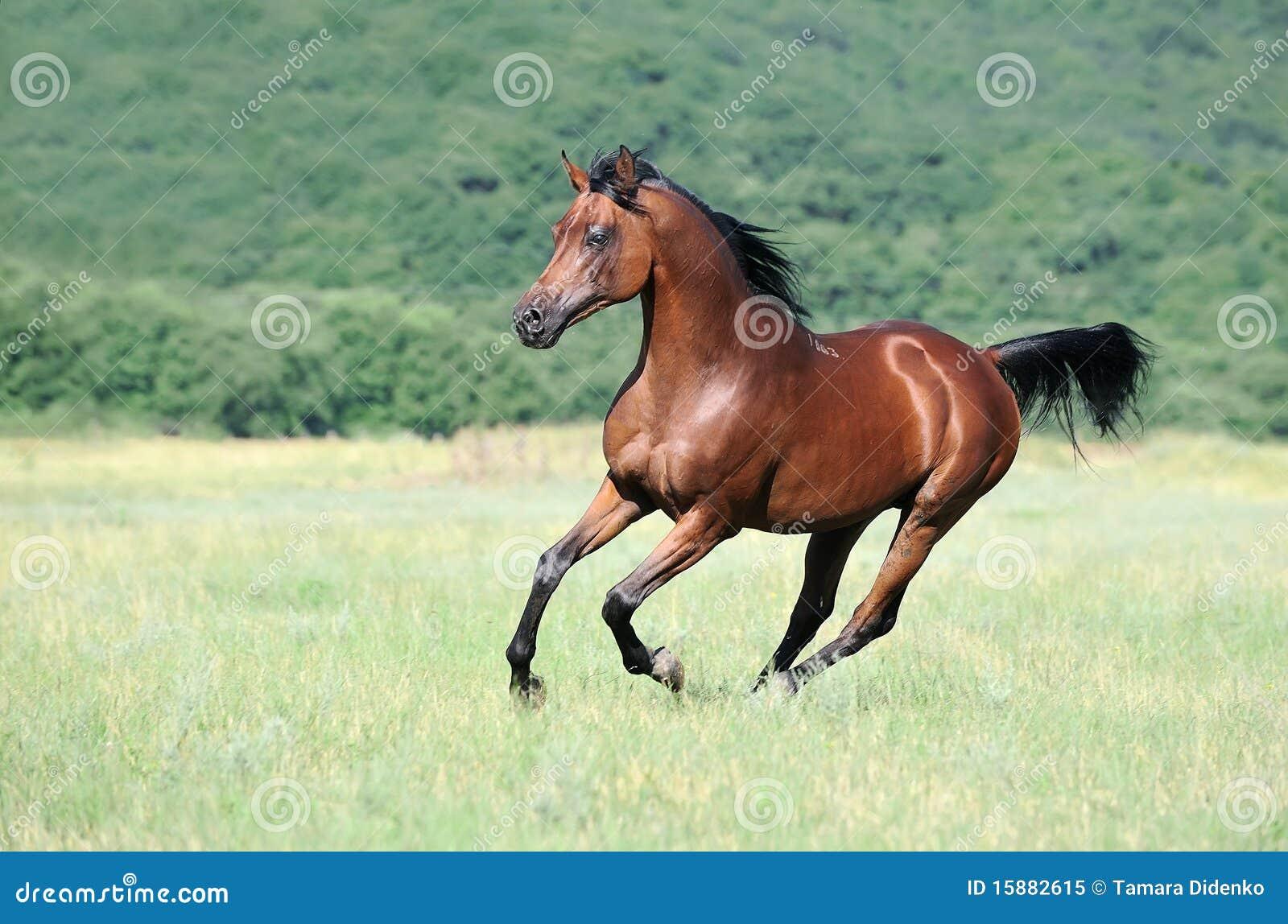 Brown Arabian Horse Running Gallop On Pasture Stock Image