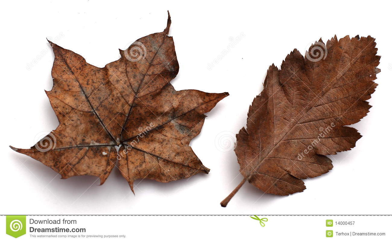 Brown Autumn Leaves Royalty Free Stock Photography Image