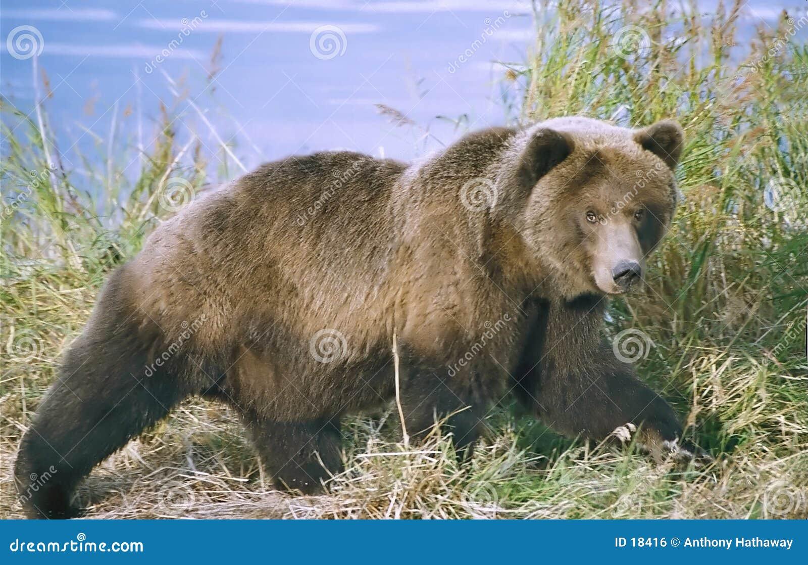 Brown-Bär