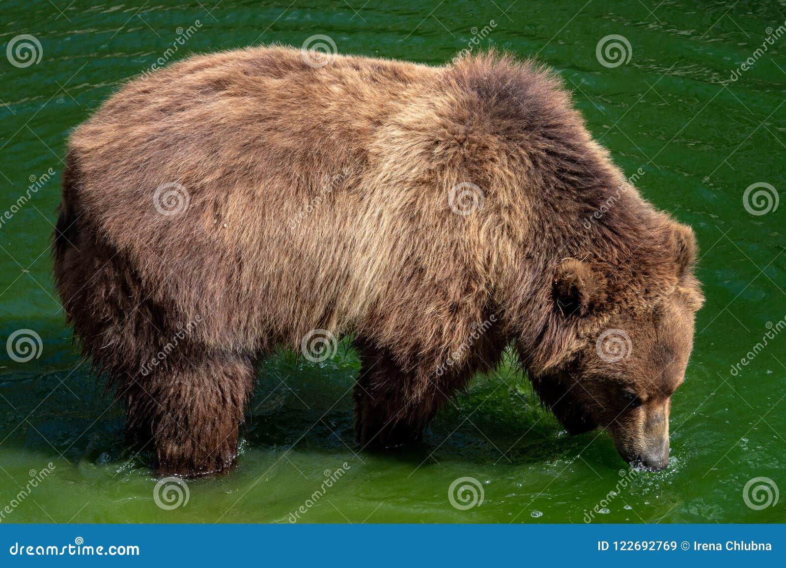 Brown-Bär im Wasser Porträt von Braunbär Ursus arctos beringianus