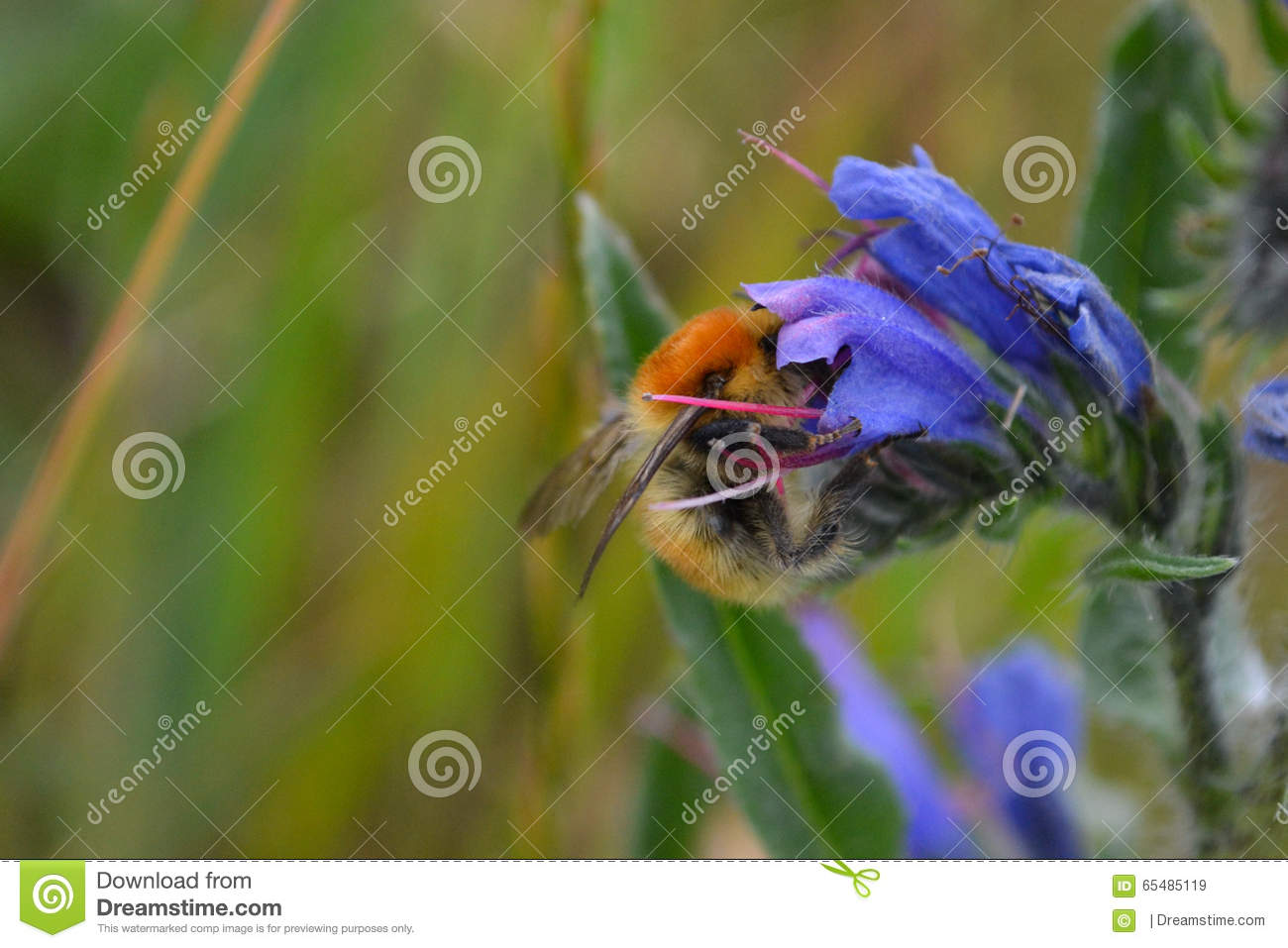 Brown Banded Carder Bee On A Viper's Bugloss Flower Stock