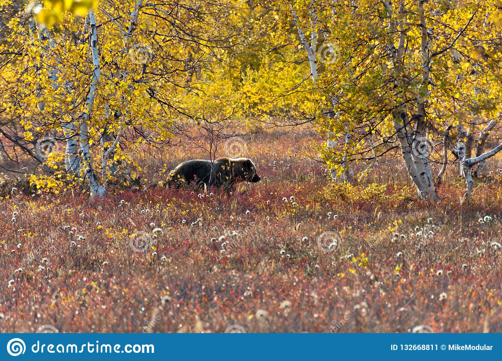 A brown bear in the autumn meadow